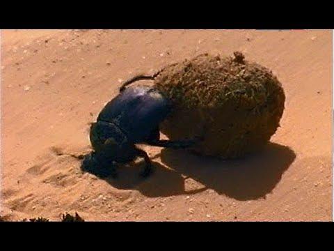 Священный скарабей. Формы природы: шар.