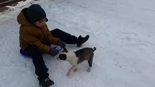 Продаётся щенок лайки (девочка) в Алматы по цене 15.000тг