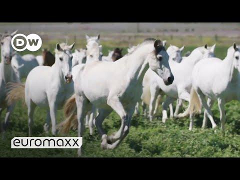 Andalusian Horses: These Carthusian Horses Are Europe's Oldest Breeds | Pura Raza Española