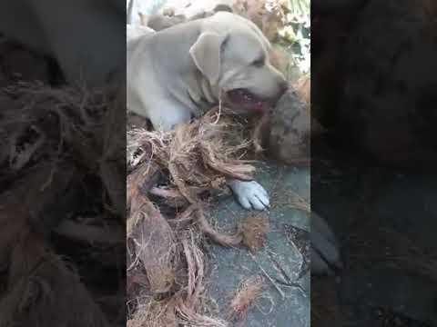 Video: El Perro Coquero RD