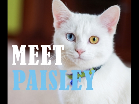 Meet Paisley the Odd-Eyed Cat