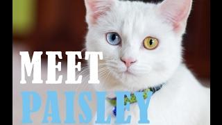 Meet Paisley the Odd-Eyed Cat