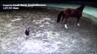 Rooster Round Penning A Horse Using Pressure & Release Better Than Most Stupid Humans
