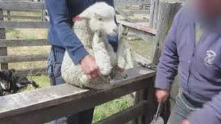 Warning: Graphic video of animal cruelty on a wool farm in Argentina