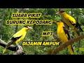 Dijamin Burung Kepodang Liar Datang Dengar Suara Pikat Burung Kepodang Terbaru   Mp3 - Mp4 Download