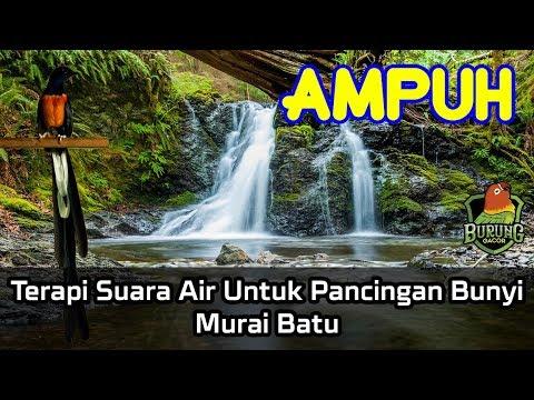 AMPUH Terapi Suara Air Untuk Pancingan Bunyi Murai Batu