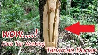 Video Teknik Terbaru Cara Top Working Tanaman Durian 100 % Berhasil download MP3, 3GP, MP4, WEBM, AVI, FLV Juli 2018