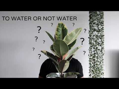 Watering Houseplants | When and How Much Water