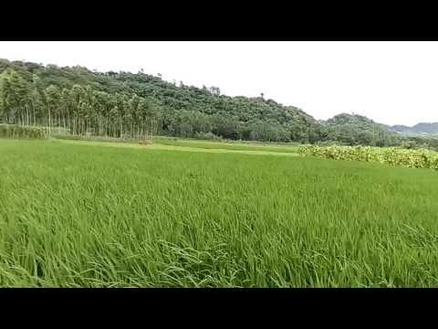 Beautiful Bangladesh- Waving Paddy Fields, Sitakund, Chittagong