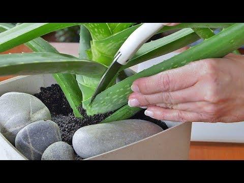 Masywnie Aloes zwyczajny - pielęgnacja i przesadzanie. Jak pozyskać żel QR07