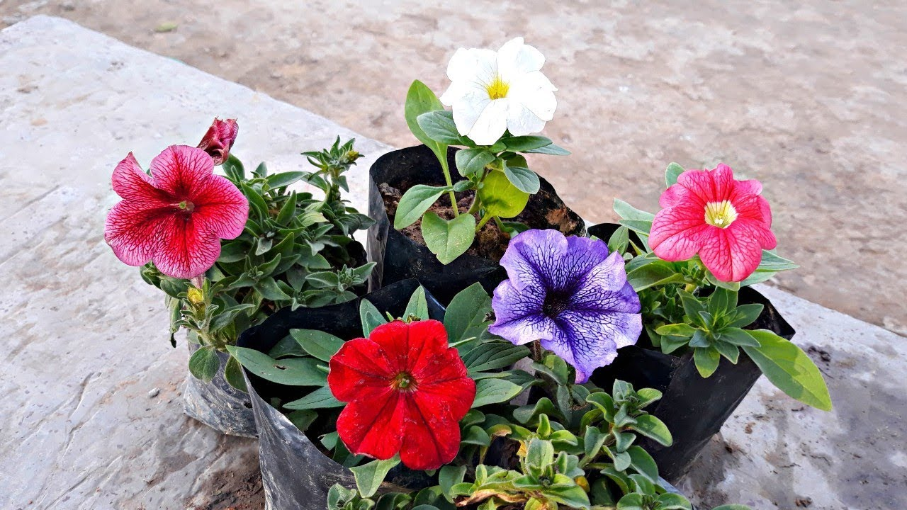Blooming Petunias Hindi Youtube