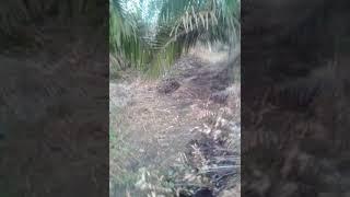 Download Video Ayam pikat (( HERCULES )) Elang Berantai/Sie Kembar MP3 3GP MP4