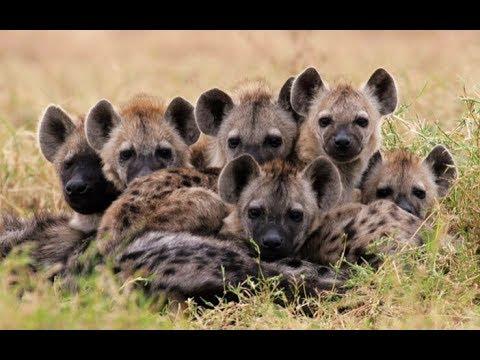 National Geographic Wild ~ Hyena is easy for Liuwa in Zambia