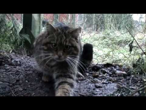The making of wildlife documentary Last of the Scottish Wildcats