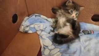 Купить котенка британца. Малыш британец (котенок) играет.