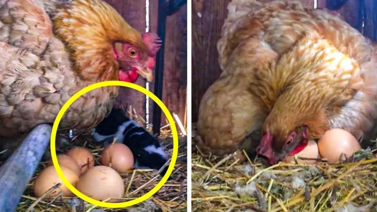 Fazendeiro Pensou Que Galinha Colocou Um Ovo. Ele Dá Uma Olhada Vê O Que Ela Está Protegendo