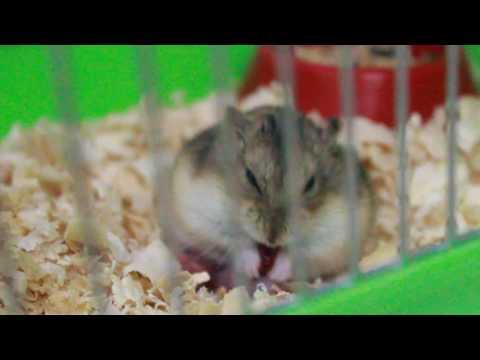 видео: Роды у хомяка
