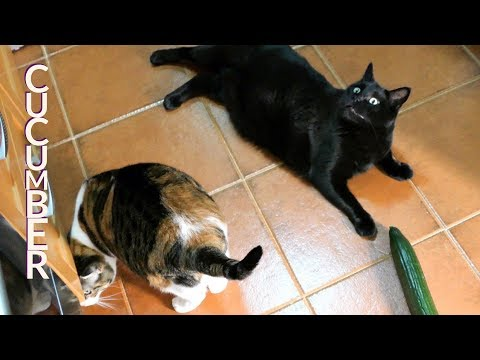 CUTE CATS VIDEO 38 - ARE CATS SCARED OF CUCUMBERS ?