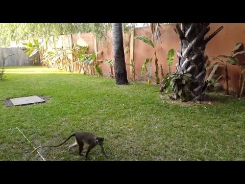 The Gambia - Seafront Residence Hotel - Monkey Visit 1