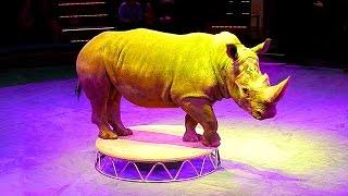 Цирк. Носорог. Дрессированный Носорог. Триумфаторы Арены. Африканский Носорог Видео. Носорог Видео
