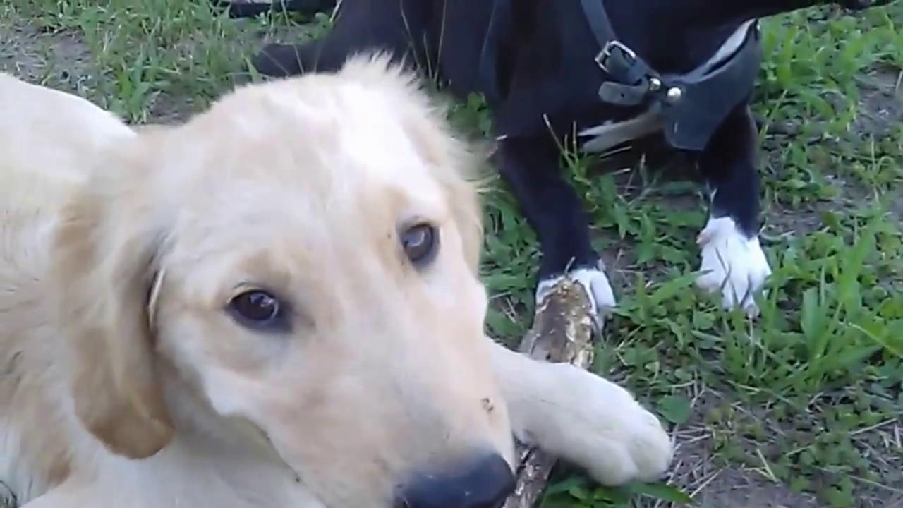 Pitbull Y Golden Retriever Cachorros Youtube