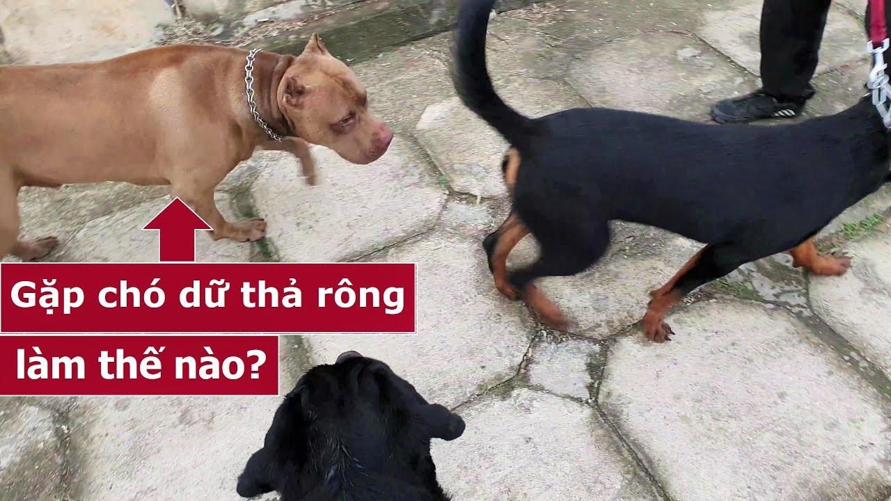 Dắt chó đi dạo gặp chó dữ thả rông thì phải làm thế nào?