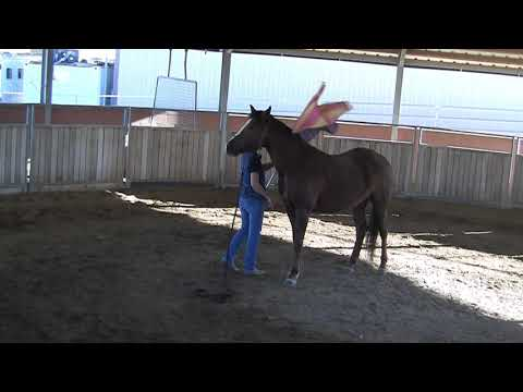 Leadership - Missouri Fox Trotter  Mare