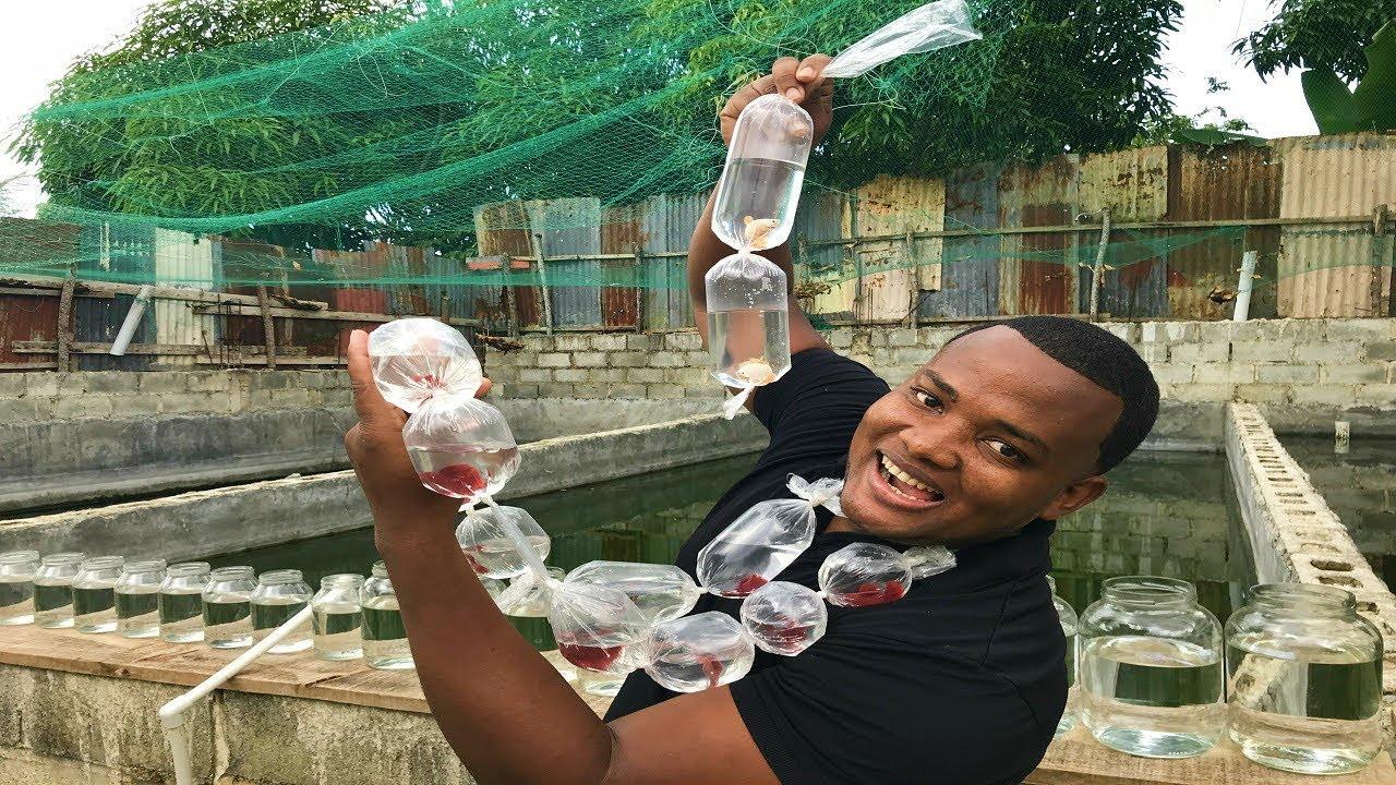 La continuaci n de los peces betta super red youtube for Criadero de peces goldfish