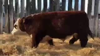 Lot 25- Prime Plus Bull Sale