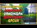 Suara Kacer Betina Gacor Birahi Memanggil Kacer Jantan Agar Cepat Naik Birahi Gacornya  Mp3 - Mp4 Download