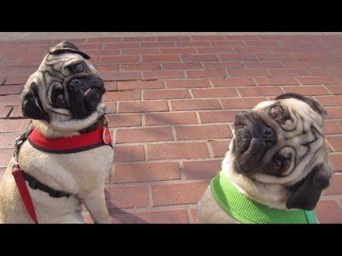 Why Pugs Love Bloomingdale's