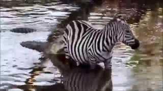 Как зебра вырвалась из пасти крокодила