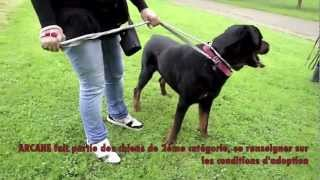 Adopte - Arcane, Rottweiler De 7 Ans (rp)
