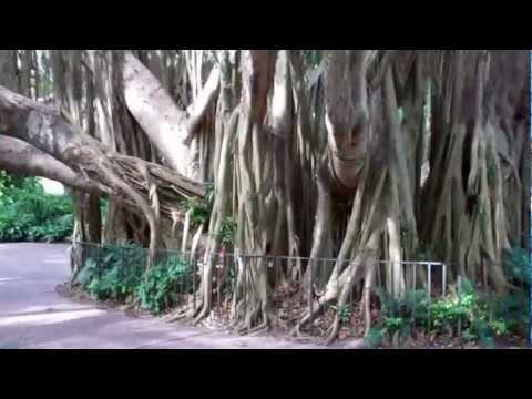 Amazing Banyan Tree At Cypress Gardens - Legoland Florida