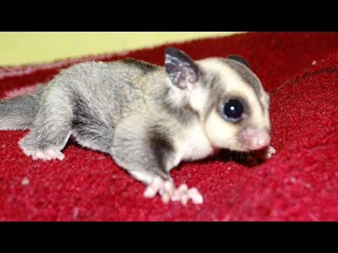 Sugar Gliders as Pets in India | Complete information - Hindi | Nihal Pets