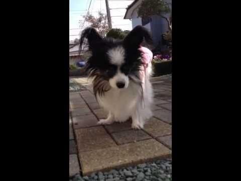 パピヨン 最 高齢 パピヨン犬の年齢加算表 - dog-age.com