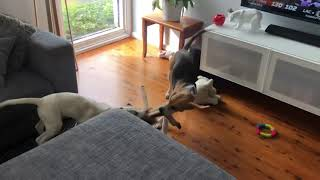 Harrier Hound Puppies play 'tug of war'