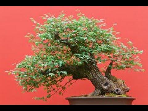 Care Guide For The Zelkova Bonsai Tree Youtube