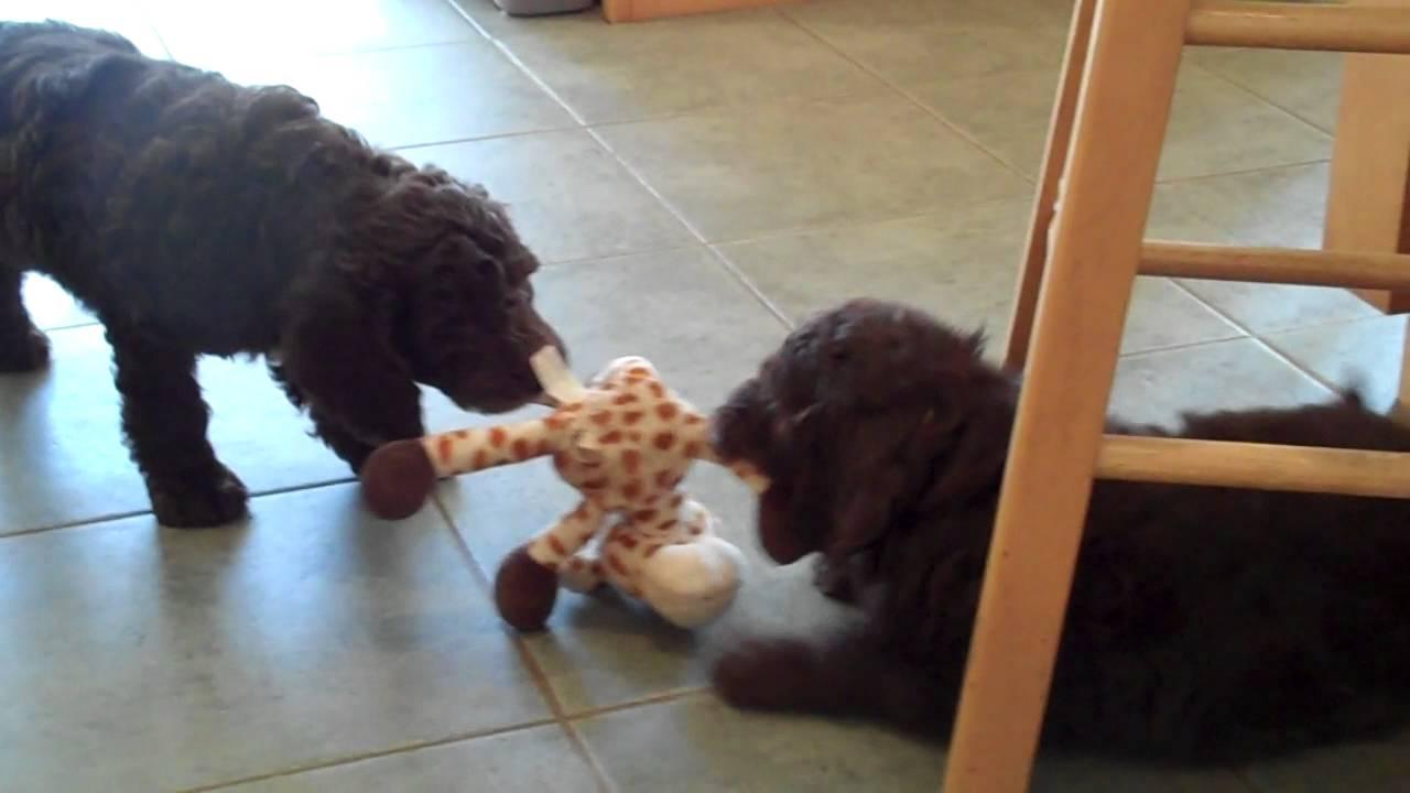 7-week Old Labradoodle Pups at Play