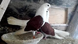 Kury ozdobne i gołębie - nowe nabytki