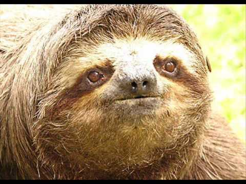 Sloth Facts!! - YouTube