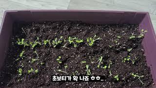 다이소에서 산 씨앗으로 상추 파테크 가능 할까? |홈가…