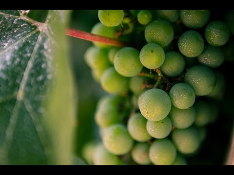 Picking and Planting Cold Hardy Frontenac Gris Grapes in Alberta Urban Garden
