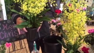 なおき先生のガーデニング講座!花鉢を長く楽しむ極意とは    オンシジウム編