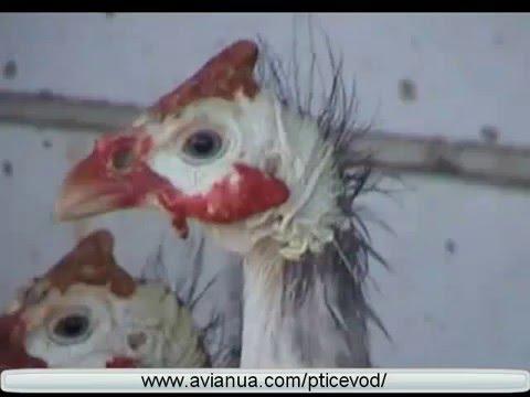 Домашняя птица в Украине