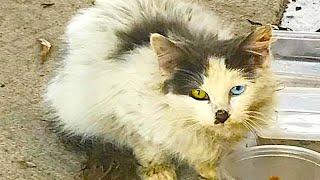 「幸運を呼ぶ猫?」オッドアイの子猫を保護して困難を乗り越えると…幸せが待っていた【感動】 左右の目の色が違うオッドアイ。 特に白猫に...