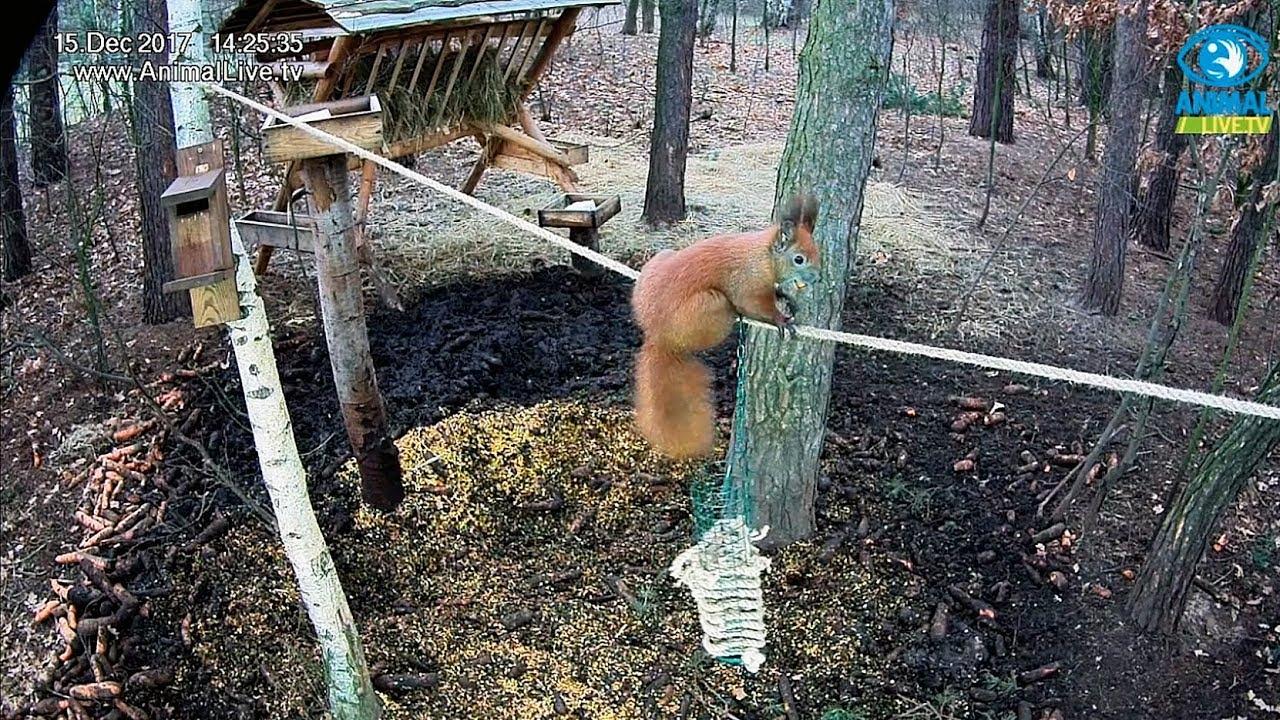 🐿️🐿️🐿️ Wiewiórki na linie w karmisku w lesie na Podkarpaciu