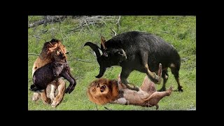 Lion vs Buffalo - Top moments Buffalo fight back the KING LION to save baby | ND Channel