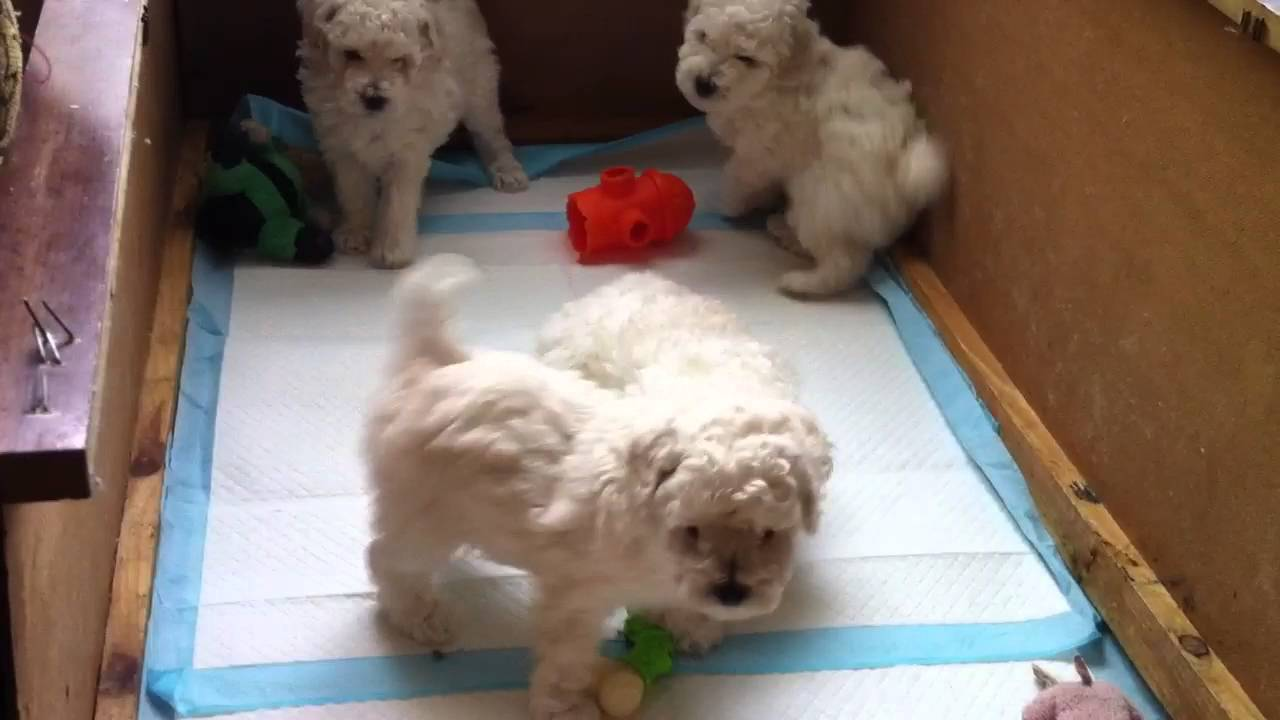 Miniature Poodle Puppy With His Litter
