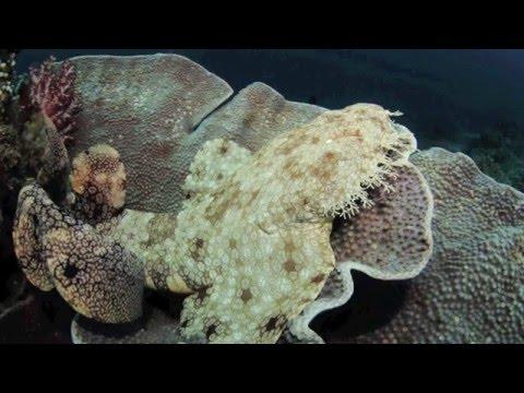 Tasselled Wobbegong - Eucrossorhinus dasypogon